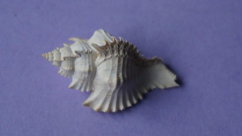 Muricidae - † Timbellus crenulatus tricarinatus (Lamarck, 1803) - Lutetien & Bartonien (Bassin Parisien) 00314