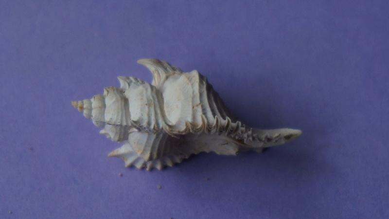 Muricidae - † Timbellus crenulatus tricarinatus (Lamarck, 1803) - Lutetien & Bartonien (Bassin Parisien) 00513
