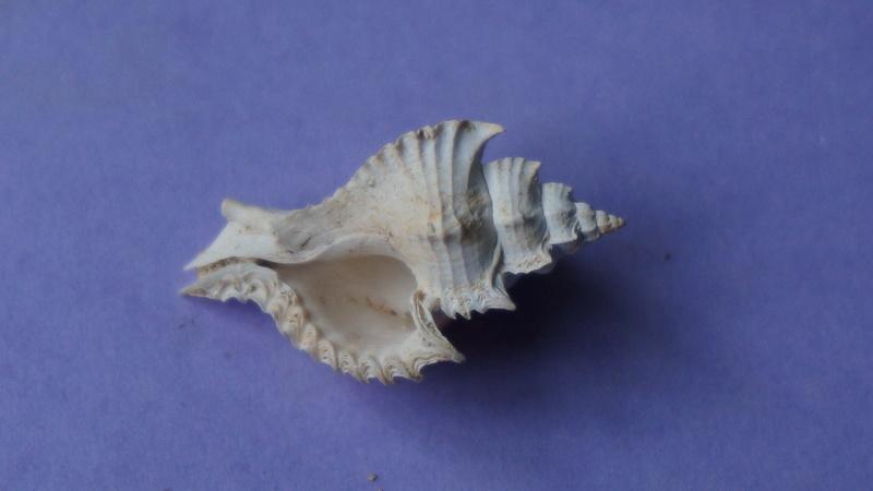 Muricidae - † Timbellus crenulatus tricarinatus (Lamarck, 1803) - Lutetien & Bartonien (Bassin Parisien) 00713