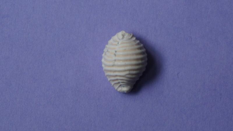 Triviidae - † Eotrivia pedicularis Deshayes, 1865 (GA 162-17) - Bartonien inf. 01010