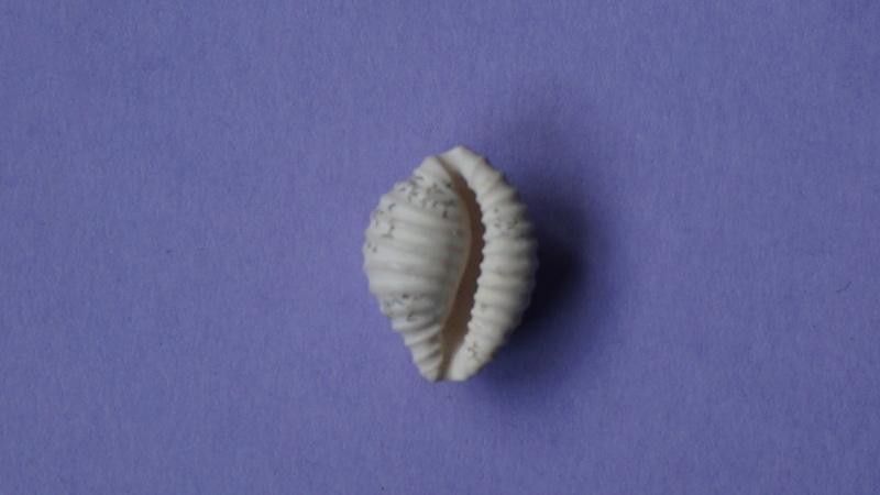 Triviidae - † Eotrivia pedicularis Deshayes, 1865 (GA 162-17) - Bartonien inf. 01412