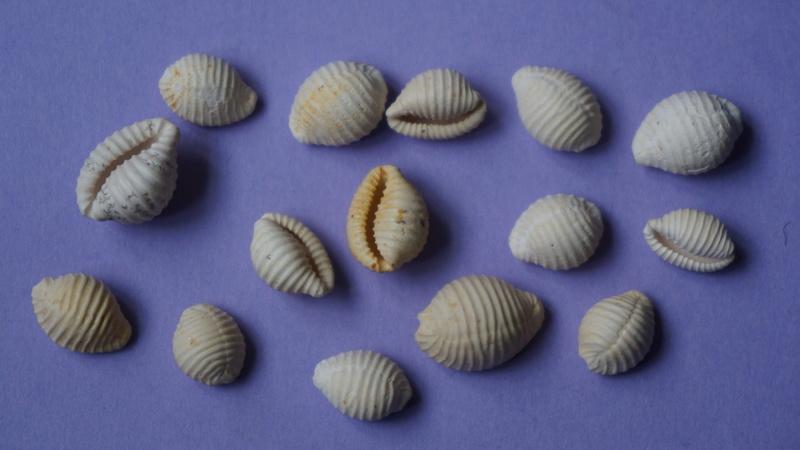 Triviidae - † Eotrivia pedicularis Deshayes, 1865 (GA 162-17) - Bartonien inf. 01610