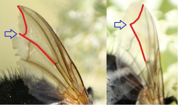 Tachinidae ? [Nemoraea pellucida] Aile_m10