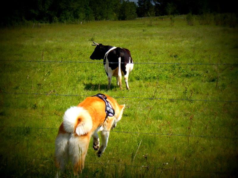 Photos de vous et vos chiens en pleine activité (course, vtt,ring, ..) - Page 2 13244710