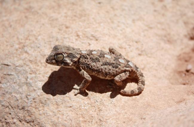 Tarentola [Geckonia] chazaliae Casquy10