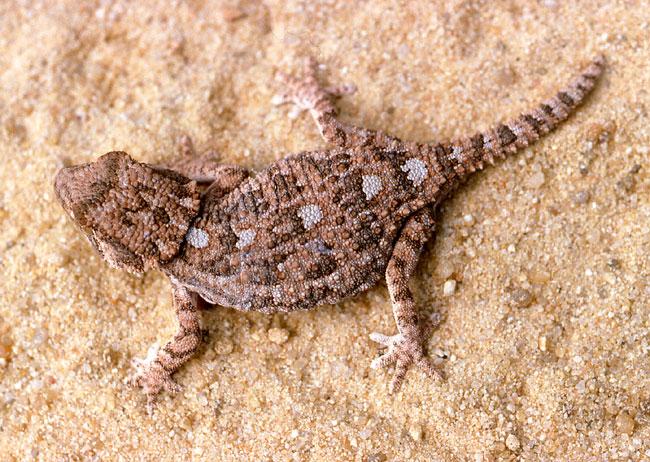 Tarentola [Geckonia] chazaliae Geckon10