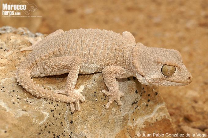 Tarentola [Geckonia] chazaliae Tarent10