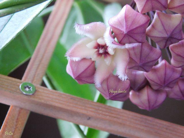Hoyapflanzen von Petra L. Dscn0210