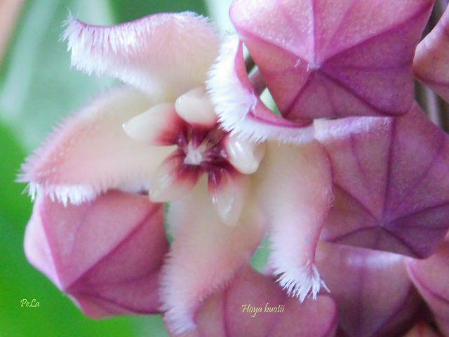 Hoyapflanzen von Petra L. Fscn0210