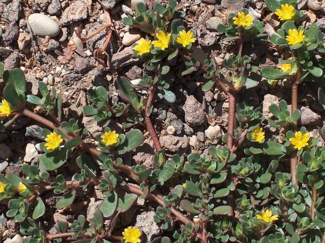 Portulaca oleracea 069_0010