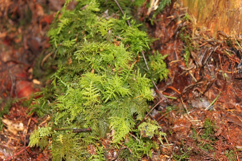 Woodland - Page 3 Mosses10