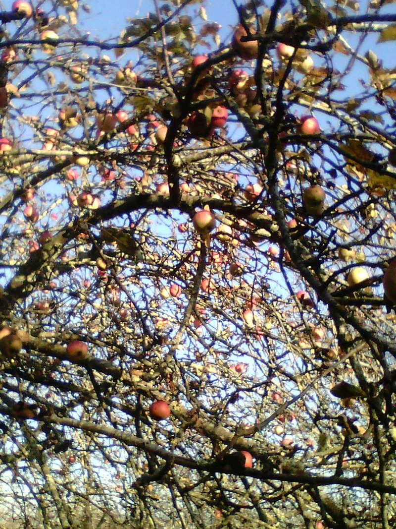 Récolte des pommes et poires Img15710