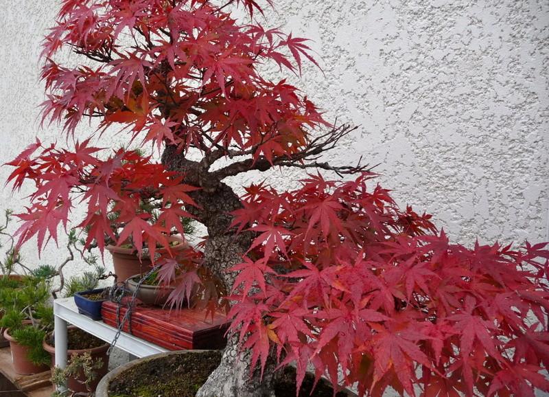 Printemps bonsaï - Page 2 P1070813