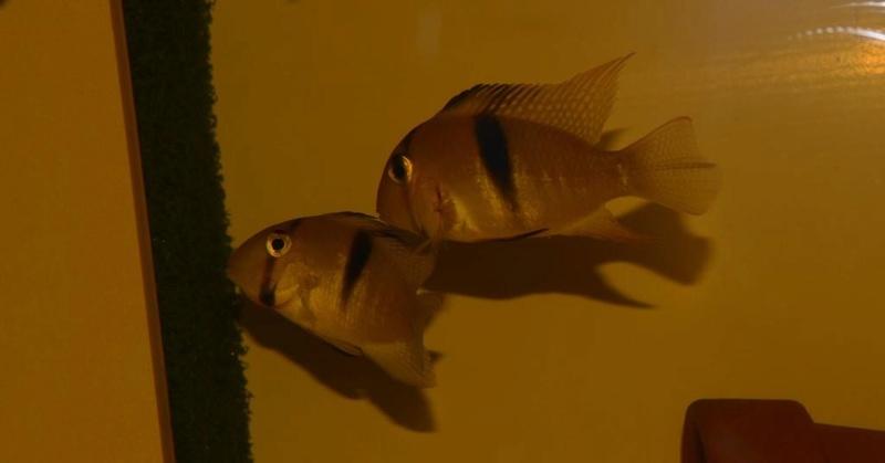 Guianacara geayi Dsc_0510