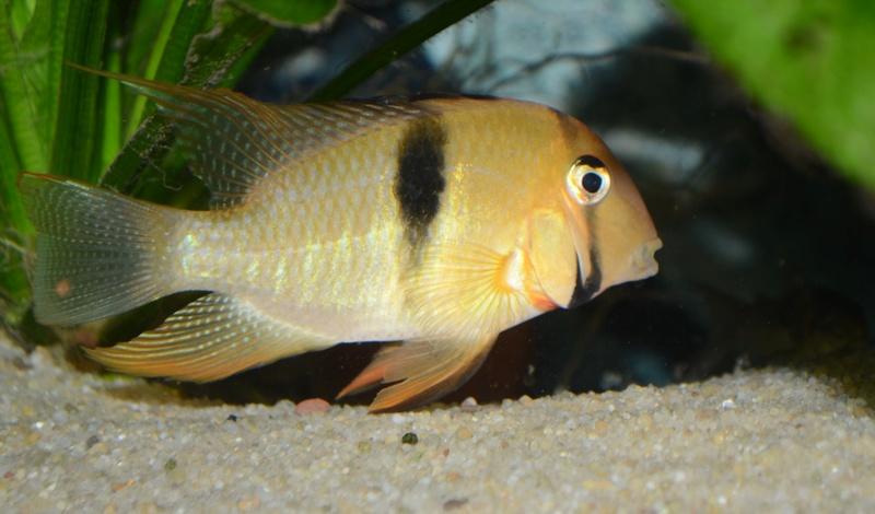 Guianacara geayi Dsc_0617