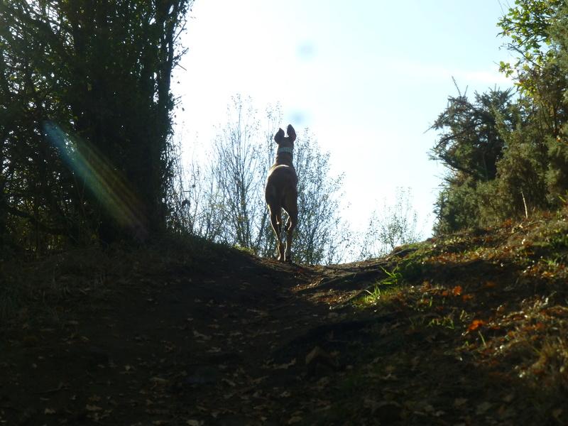 Kika galga 7 ans 1/2 marron  Scooby France  Adoptée  - Page 5 P1130412