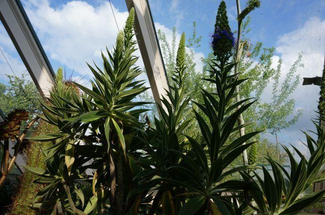 Echium wildpretii - Seite 9 Dsc03210