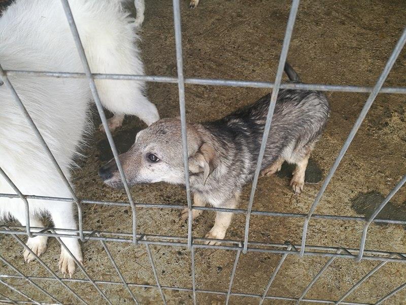 MANAU mâle, croisé berger, né vers juin 2016 - REMEMBER ME LAND - adopté par Sabrina (Belgique) 16117711