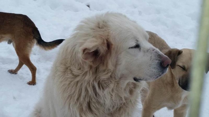 GOLIATH !! + de 3 ans de box !! mâle grande taille, né environ en octobre 2009, croisé montagne des Pyrénées (Cristesti) - REMEMBER ME LAND - En FALD chez Caroline (05) - DECEDE  - Page 3 Goli_t10