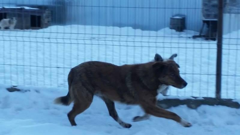 JAGUAR, mâle, taille moyenne, né environ en 2013 - PASCANI - décédé Jag10