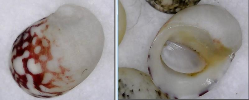 Neripteron bensoni - (Récluz, 1850) Nerite10