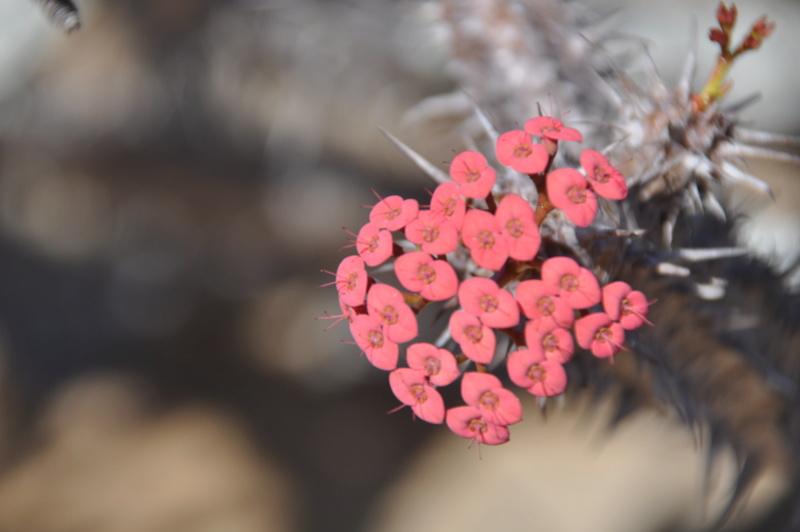Euphorbia horombense Dsc_0610