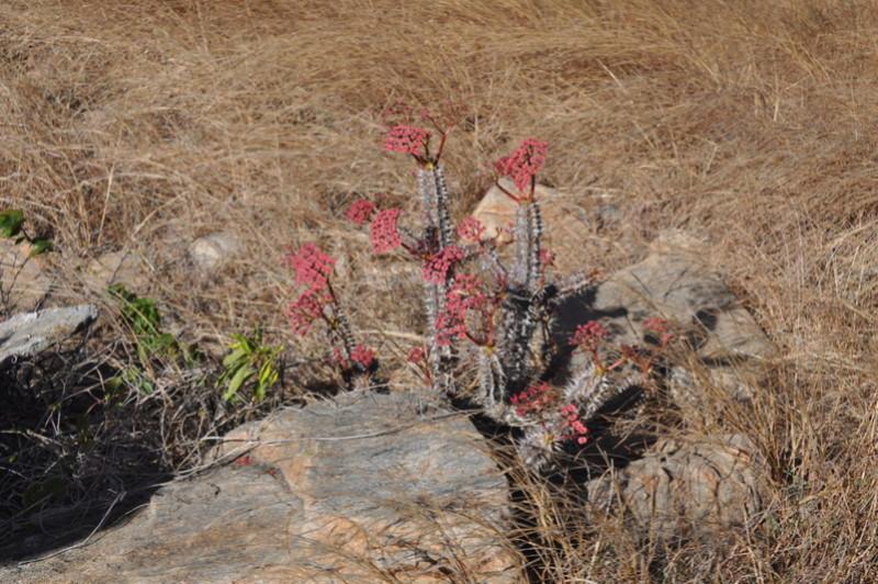 Euphorbia horombense Dsc_0611