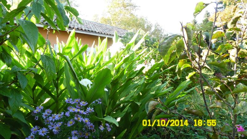 Hedychium  - Gingembre d'ornement  Sam_0011