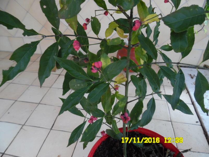 plante mystere ????  fusain d'Europe Sam_0910