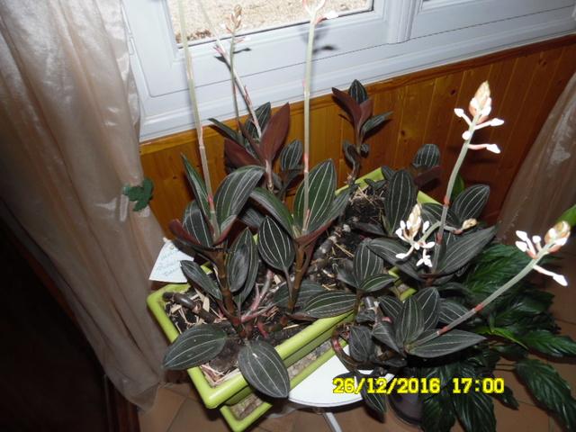 Ludisia discolor - orchidée terrestre, orchidée-bijou - Page 3 Sam_1021