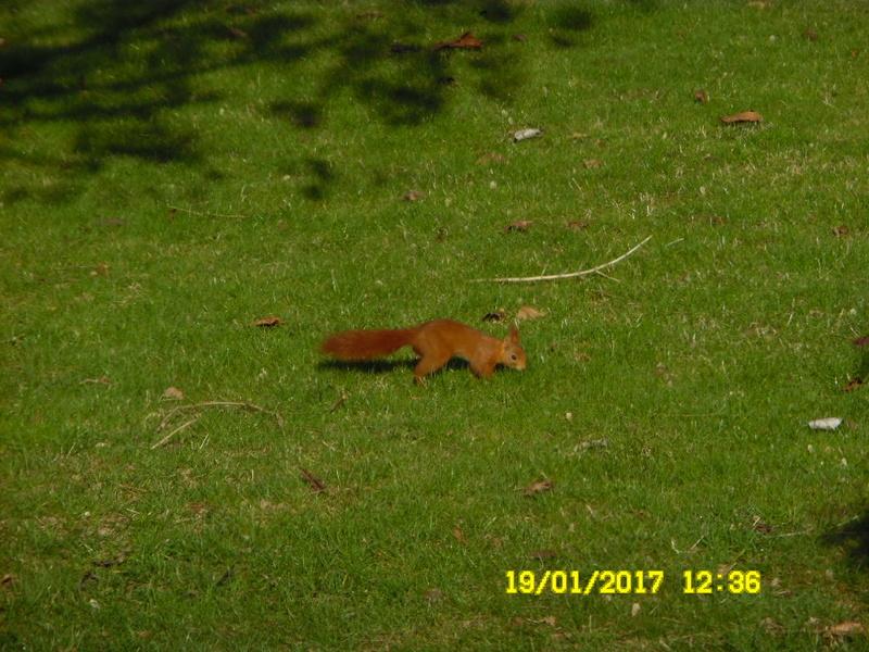 écureuil en visite journaliere Sam_1031