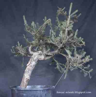 Picea abies_spruce_3 1a_f10