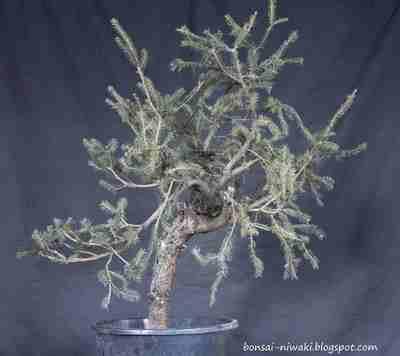 Picea abies_spruce_3 1b_f10