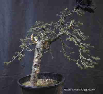 Picea abies_spruce_3 2a_f10