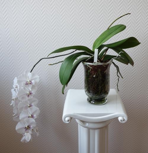 Orchideen in Glasvasen 5 (SGK) - Seite 35 Phalae11
