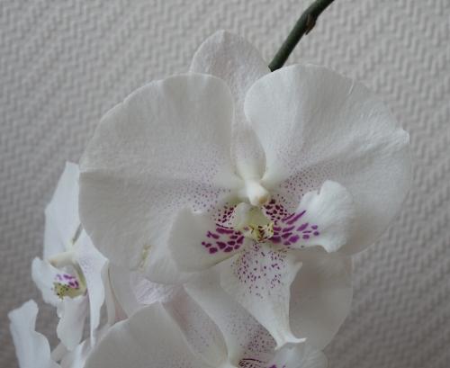 Orchideen in Glasvasen 5 (SGK) - Seite 35 Phalae12
