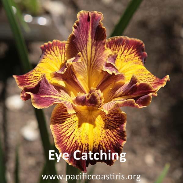 Iris Pacific Coast Native Eye_ca10