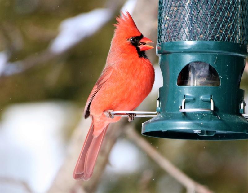 Cardinal rouge Super109
