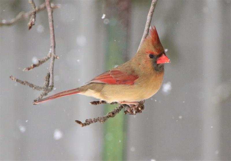 Cardinal rouge Super116