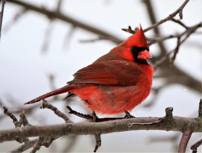 Cardinal rouge Super138