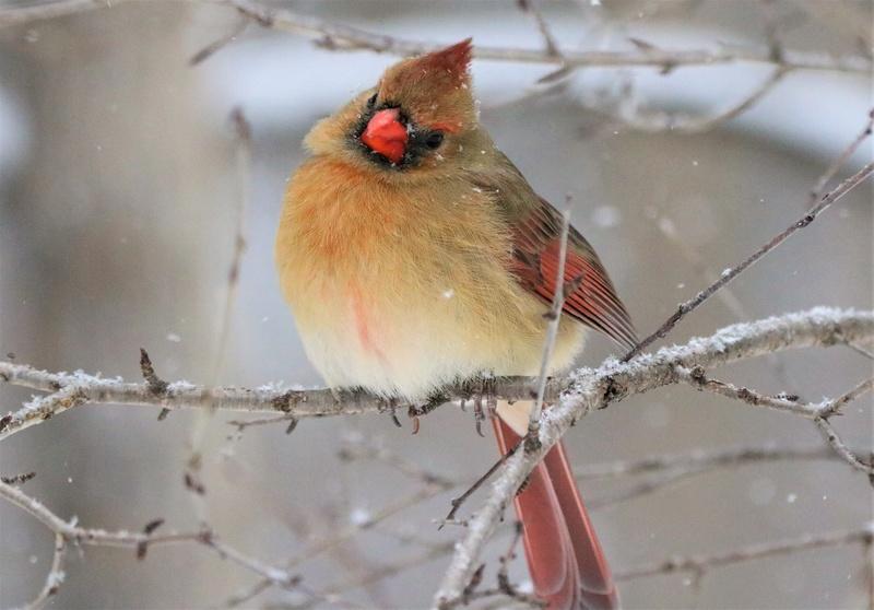 Cardinal rouge Super139