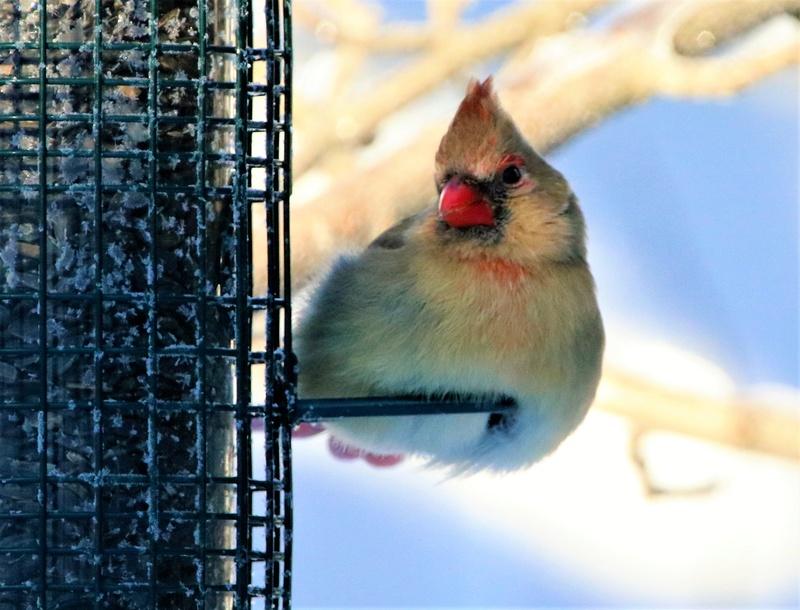 Cardinal rouge Superb64