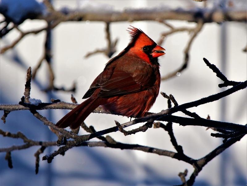 Cardinal rouge Superb65