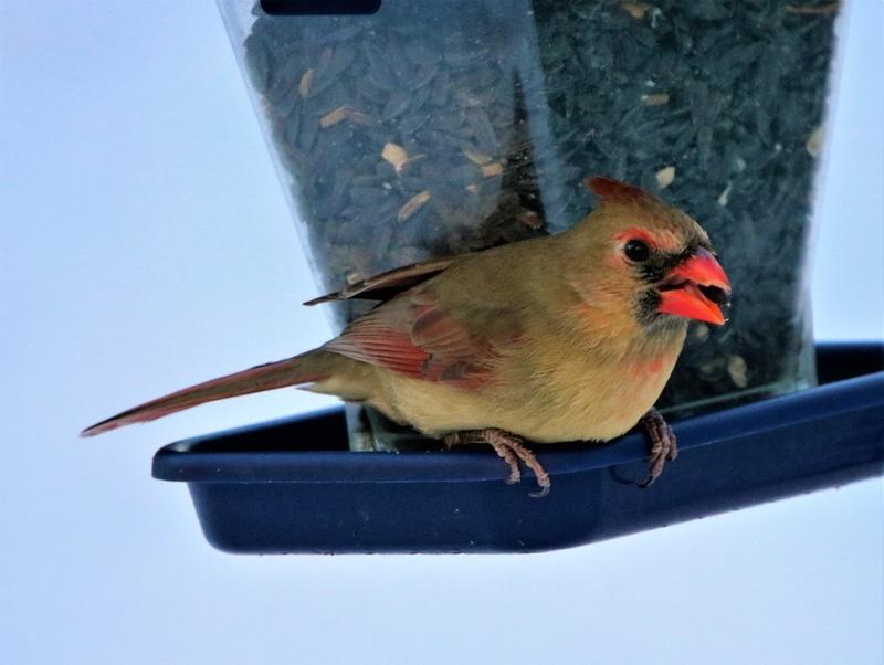 Cardinal rouge Superb66