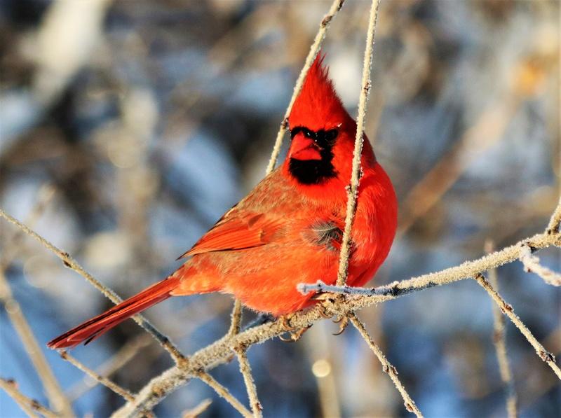 Cardinal rouge Superb67