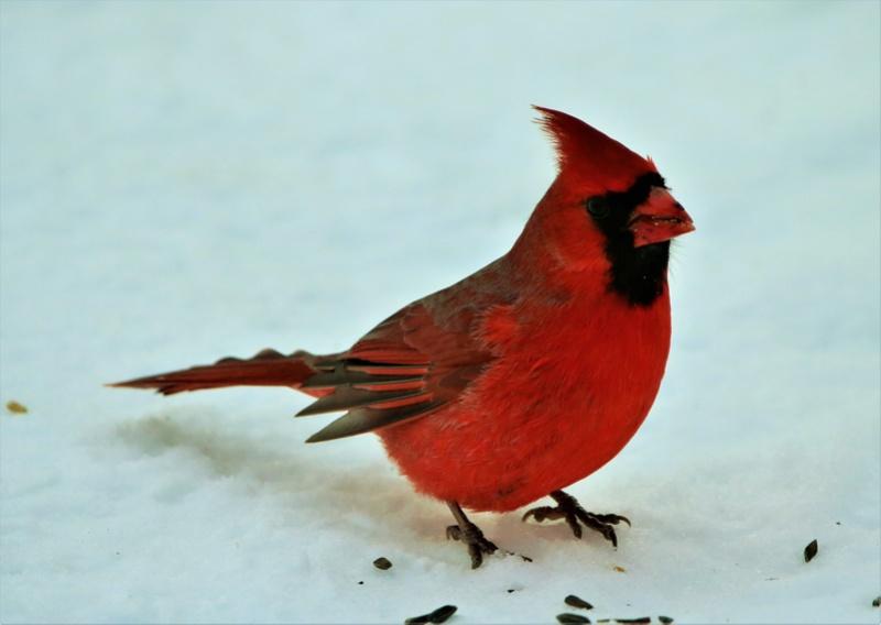 Cardinal rouge Superb86