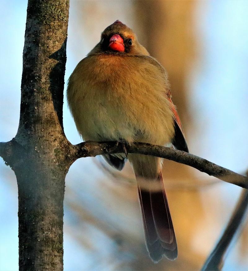 Cardinal rouge Superb87