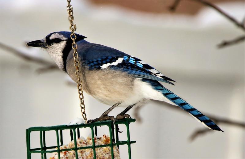 Geai bleu Superb99