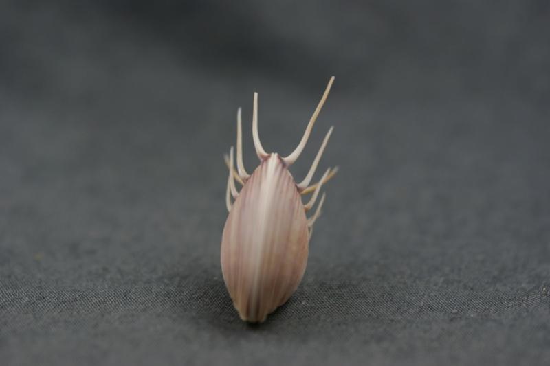Hysteroconcha dione - (Linnaeus, 1758) Dsc01710