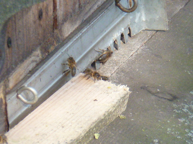 Les auxiliaires du jardinier : l'abeille noire (Apis mellifera mellifera) - Page 2 00810